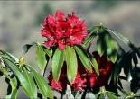 Flowering Flora of Shimla